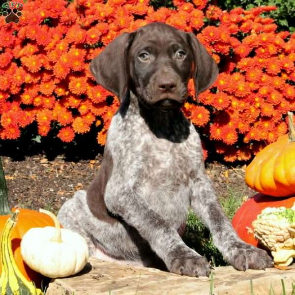 Branson, German Shorthaired Pointer Puppy