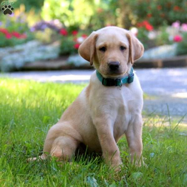 Caleb, Labrador Retriever-Yellow Puppy