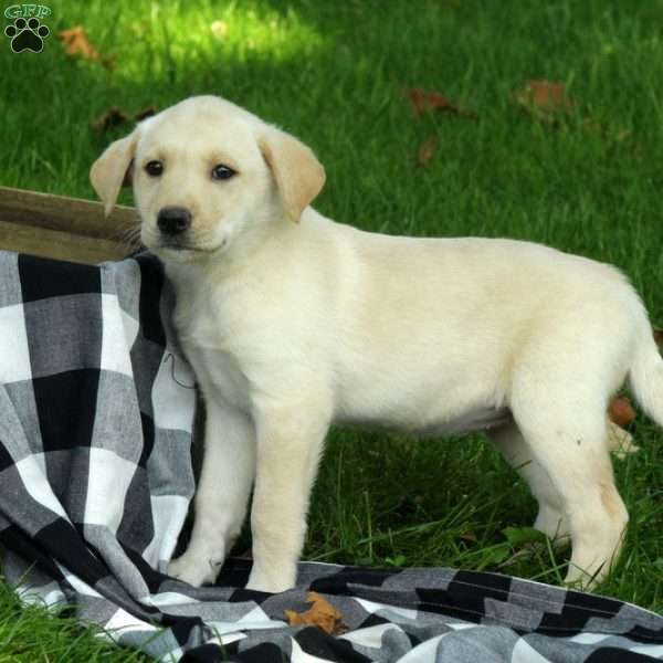 Candace, Labrador Mix Puppy