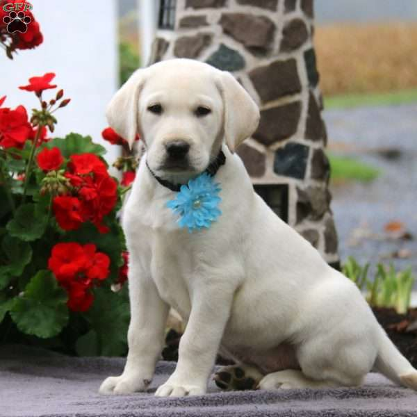 Danny, Labrador Retriever-Yellow Puppy