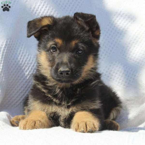 Dextor, German Shepherd Puppy