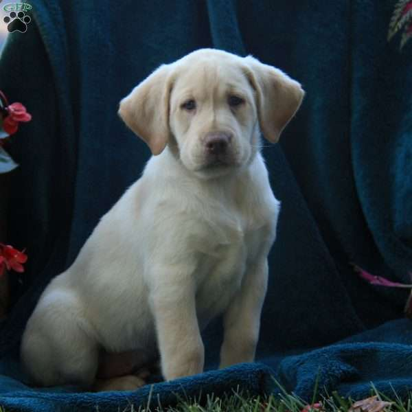 DJ, Labrador Retriever-Yellow Puppy