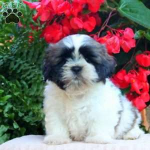 shih tzu puppies for sale in philadelphia shih tzu puppies for sale in de md ny nj philly dc and 3114