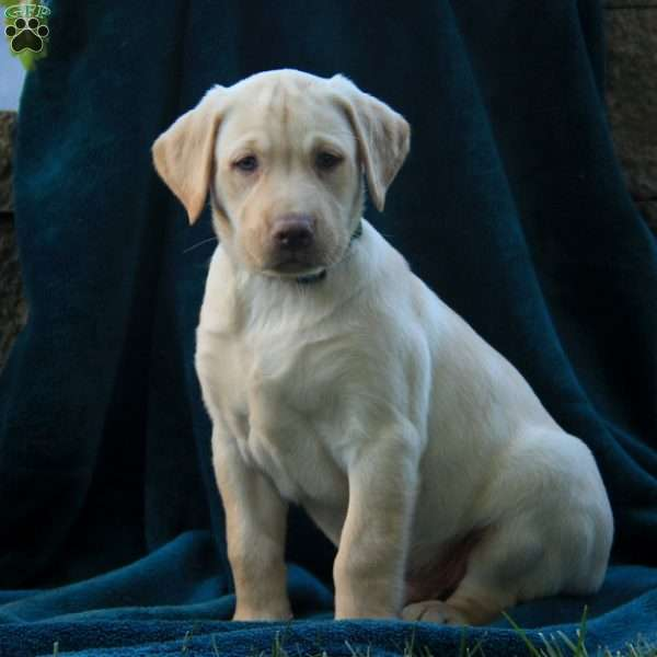 Dusty, Labrador Retriever-Yellow Puppy