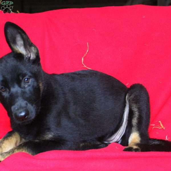 Felicity, German Shepherd Puppy
