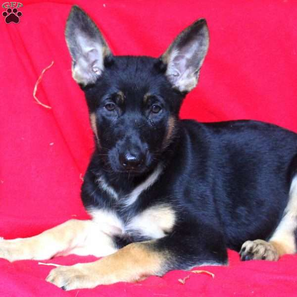 Francine, German Shepherd Puppy