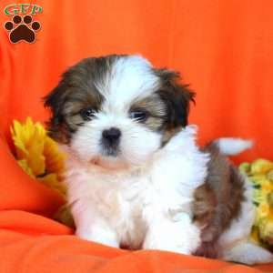 shih tzu puppies in pa shih tzu puppies for sale in de md ny nj philly dc and 1527