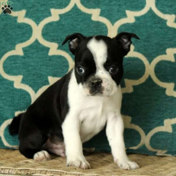 Hans, Boston Terrier Puppy