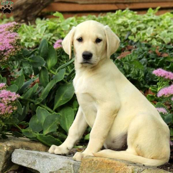 Harley, Labrador Retriever-Yellow Puppy