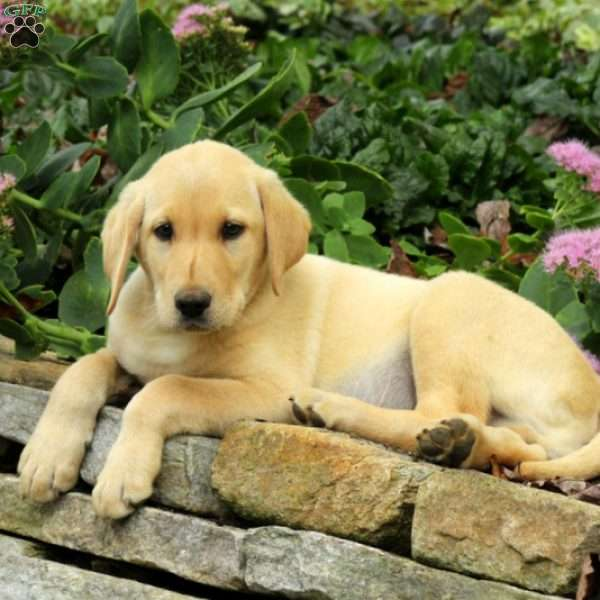 Harvey, Labrador Retriever-Yellow Puppy