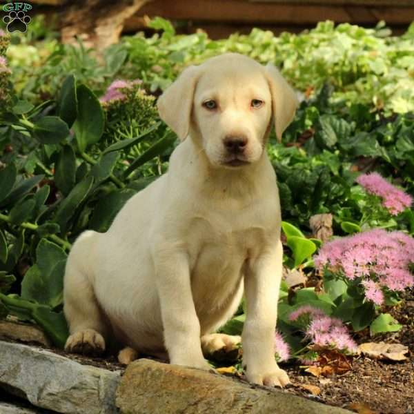 Heath, Labrador Retriever-Yellow Puppy