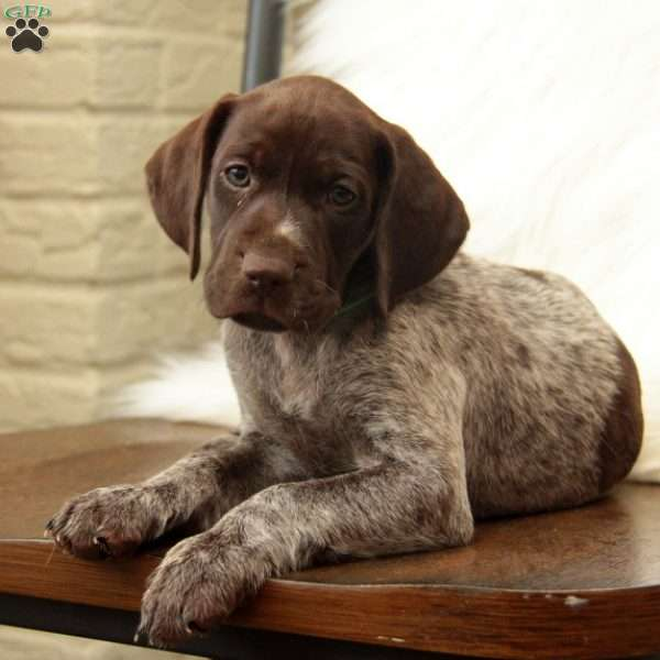 Hollie, German Shorthaired Pointer Puppy
