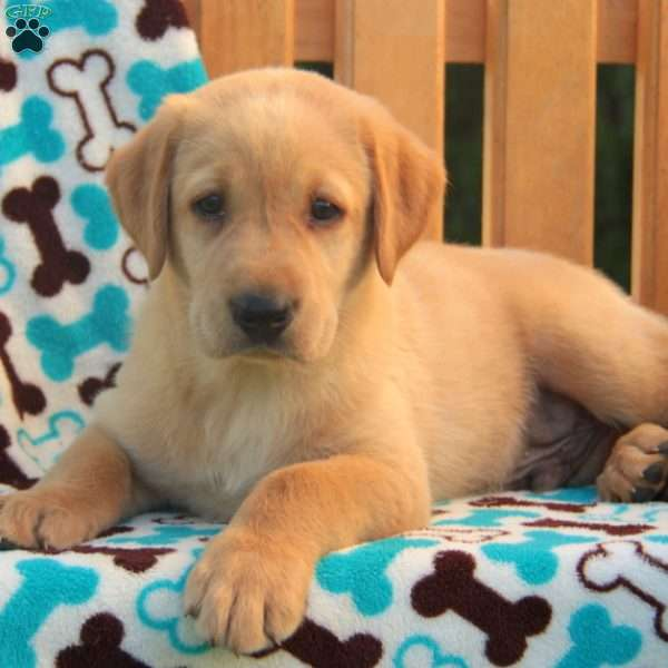 Iggy, Labrador Retriever-Yellow Puppy