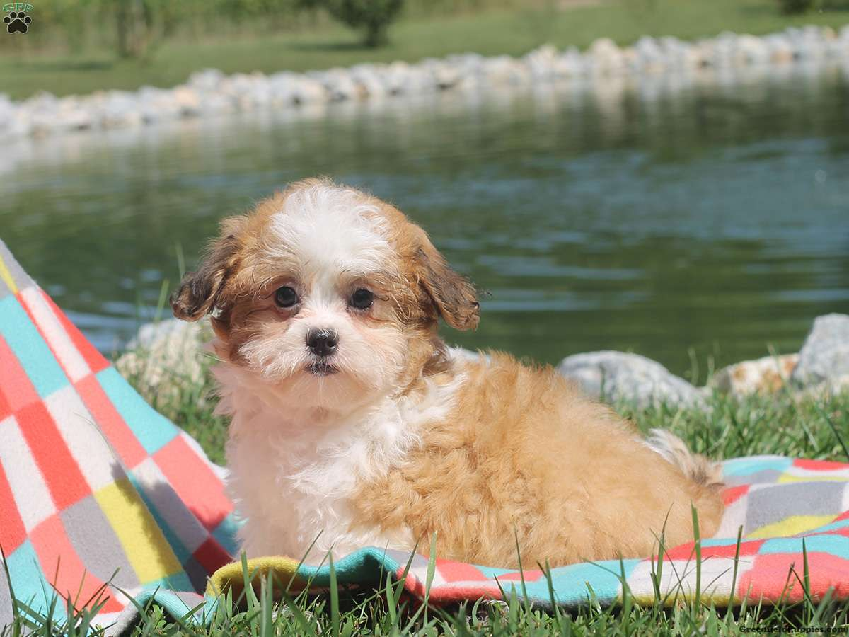 Shichon puppies for sale in kentucky - Isabella Shichon Teddy Bear Puppy