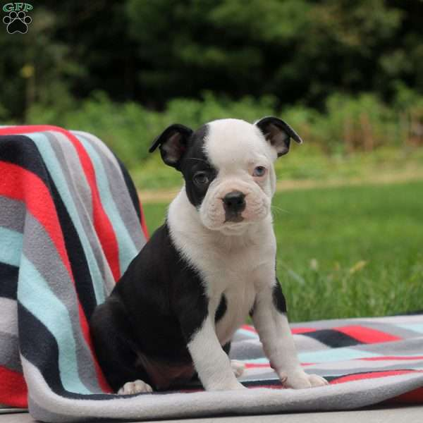 Jenny, Boston Terrier Puppy