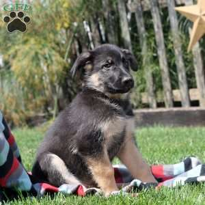 Jeremy, German Shepherd Puppy