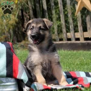 Jordana, German Shepherd Puppy