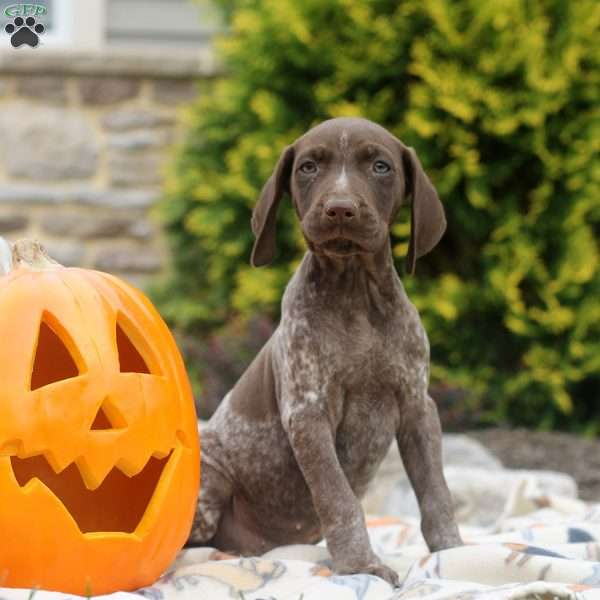 Kelby, German Shorthaired Pointer Puppy