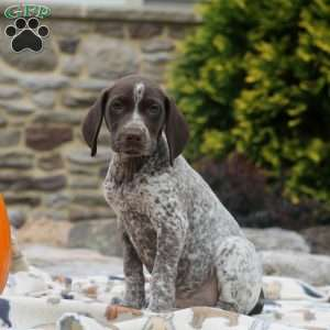 Kelly, German Shorthaired Pointer Puppy