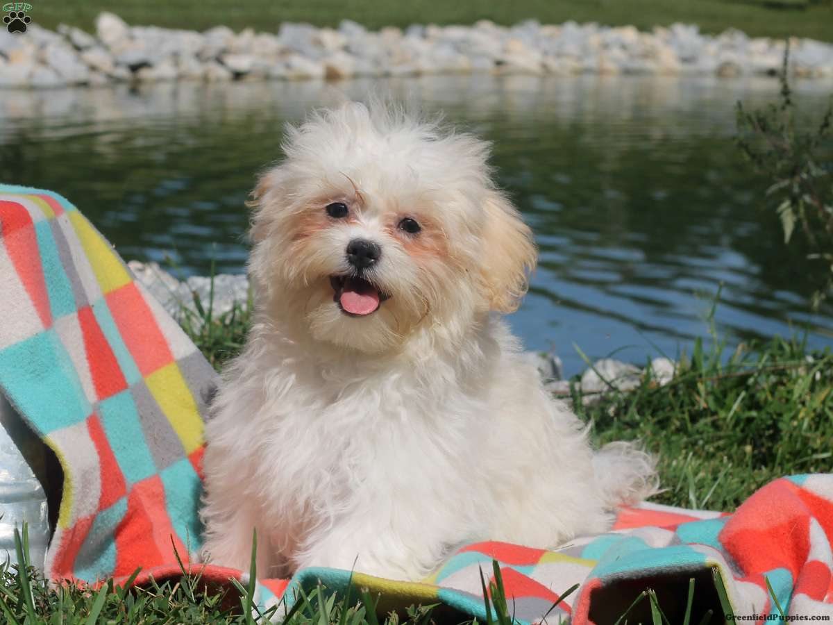 Shichon puppies for sale in indiana - Kelsie Shichon Teddy Bear Puppy