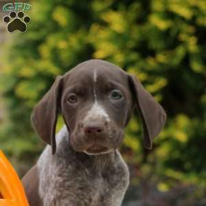Kendra, German Shorthaired Pointer Puppy