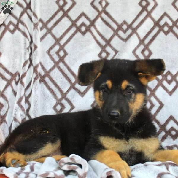 Kesha, German Shepherd Puppy