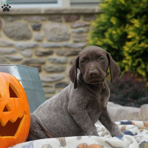Kevin, German Shorthaired Pointer Puppy