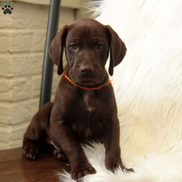 Lucky, German Shorthaired Pointer Puppy