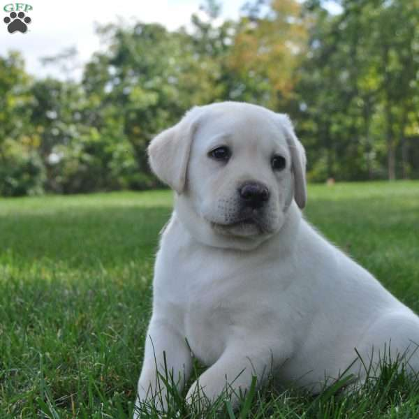 Milo, Labrador Retriever-Yellow Puppy