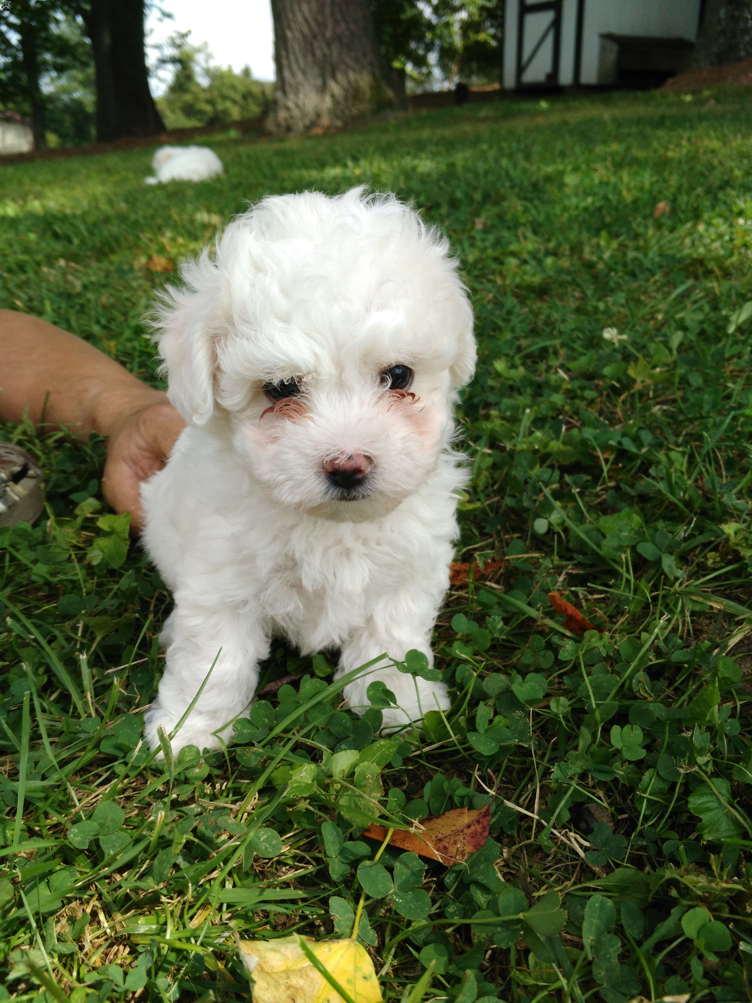 Shichon puppies for sale in indiana - Macie Shichon Teddy Bear Puppy