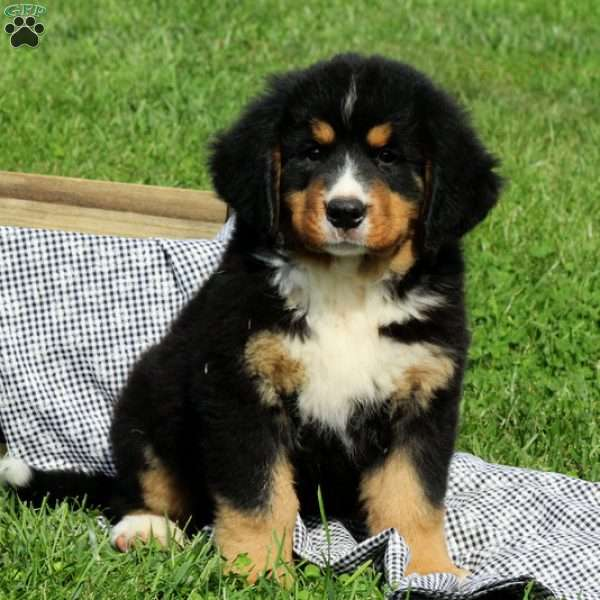 Melody, Bernese Mountain Dog Puppy