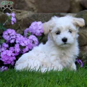 puppies for sale in delaware coton de tulear puppies for sale greenfield puppies 4180