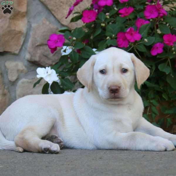 Mitzy, Labrador Retriever-Yellow Puppy
