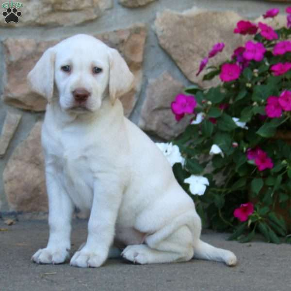 Molly, Labrador Retriever - Yellow Puppy