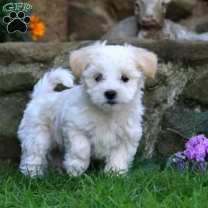 puppies for sale in delaware coton de tulear puppies for sale greenfield puppies 4995