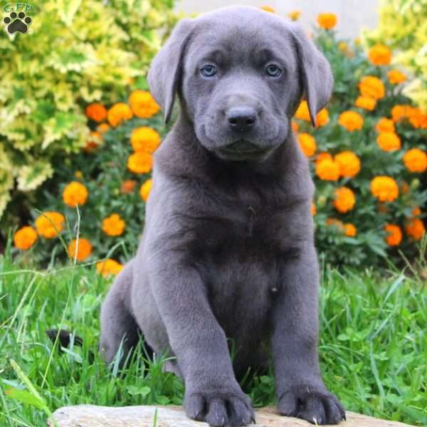 Norris, Charcoal Labrador Retriever Puppy
