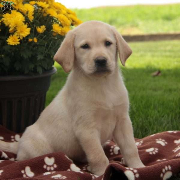 Pasko, Labrador Retriever - Yellow Puppy