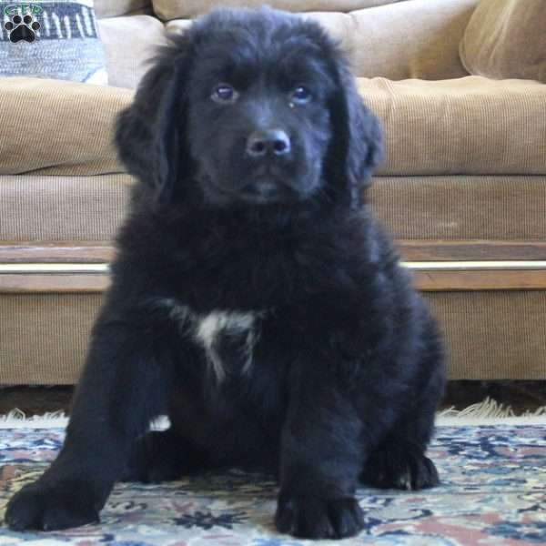 Newfoundland - Puppies for Sale Near Me