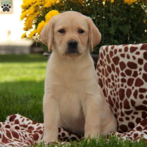 Peaches, Labrador Retriever-Yellow Puppy