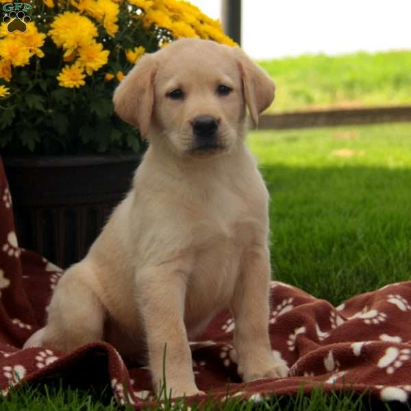 Presley, Labrador Retriever-Yellow Puppy