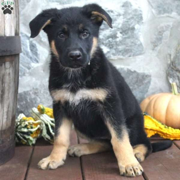 Regina, German Shepherd Puppy