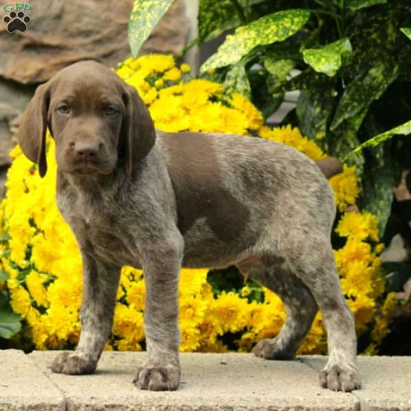 Rigby, German Shorthaired Pointer Puppy