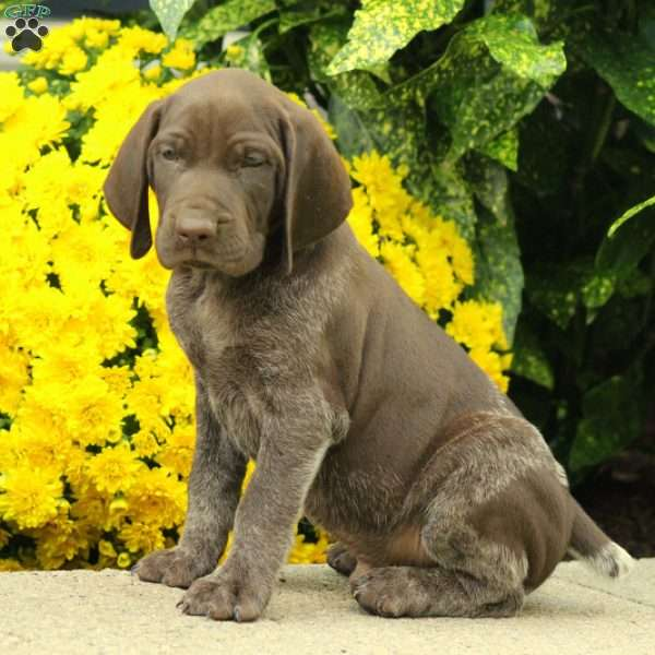 Riley, German Shorthaired Pointer Puppy