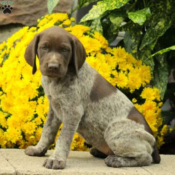 Ruby, German Shorthaired Pointer Puppy