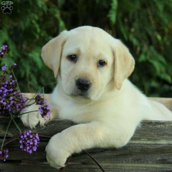 Susie – English Lab, Labrador Retriever-Yellow Puppy