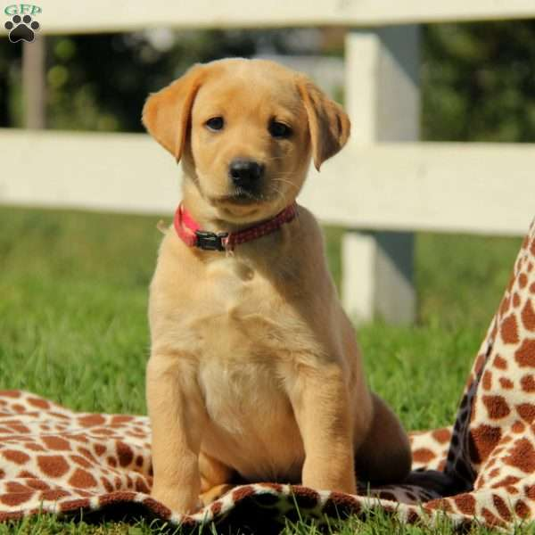 Sunny, Labrador Retriever-Yellow Puppy