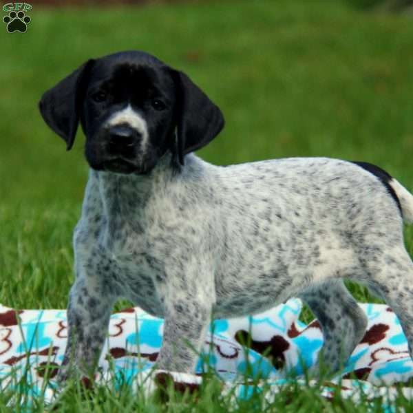 Tasha, German Shorthaired Pointer Puppy