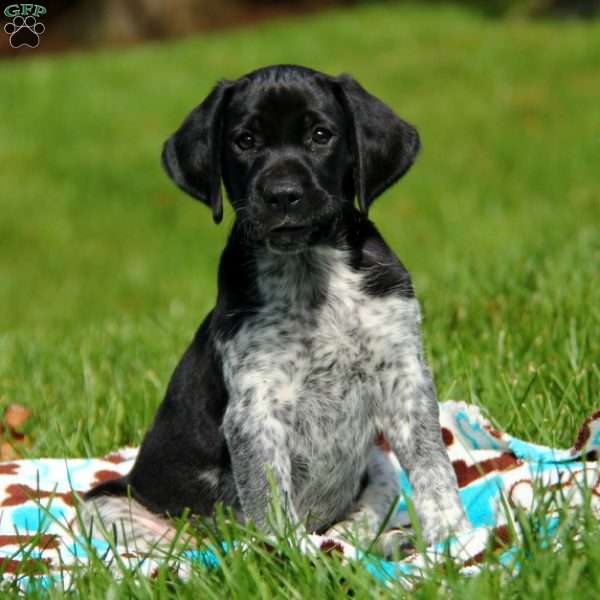 Thunder, German Shorthaired Pointer Puppy