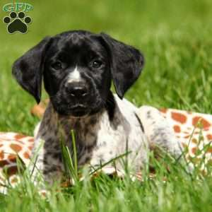 Timber, German Shorthaired Pointer Puppy