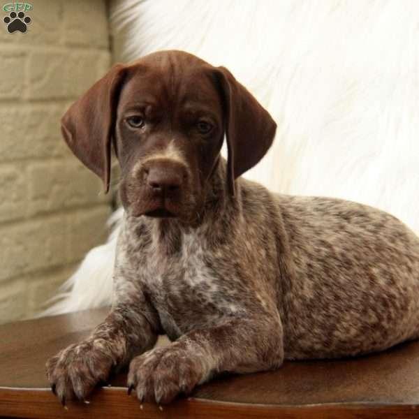 Toby, German Shorthaired Pointer Puppy